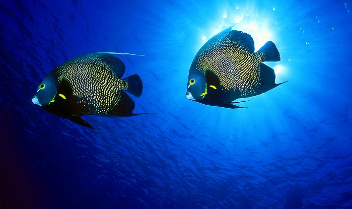 Meet the beautiful marine angelfishes of Indonesia !