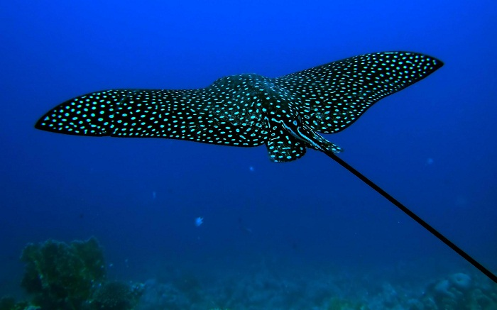 Nyaman Group Indoensia - Diving Cruise Indonesia - majestic eagle ray