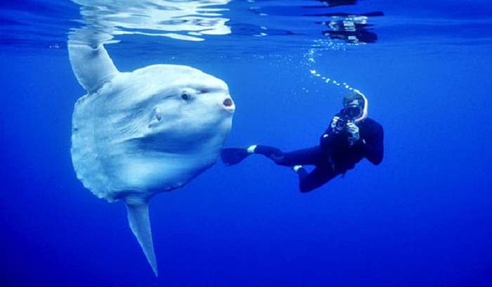 Nyaman Group Indoensia - Diving Cruise Indonesia - amazing diving with Mola-Mola